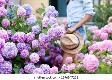 Hydrangea garden. Girl is in bushes of pink hortensia. Flower bed is blue, purple and blooming in town streets by house. Young woman in denim shorts, straw hat. Countryside life style, gardening.