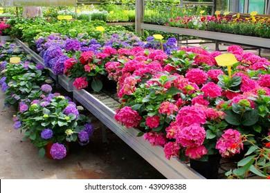 Hydrangea greenhouse plants, flower nursery, Netherlands