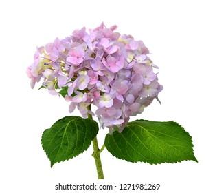 Hydrangea Hortensia flower isolated on white background