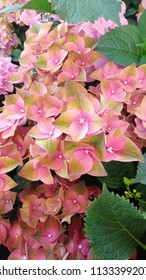 Hydrangea, hortensia plant with bicolor green - pink flowers