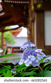 Hydrangea in the Japanese temple after the rain.