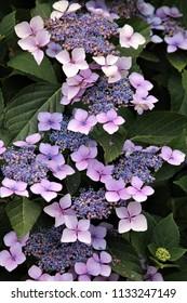 hydrangea lace cap flowers