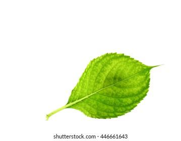 Hydrangea leaf isolated on white background.