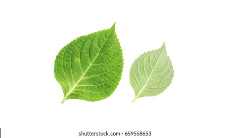 hydrangea leaf on a white background.