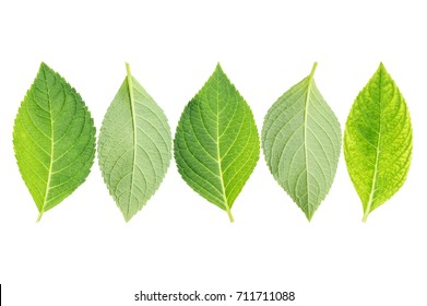 hydrangea leaf on a white background.