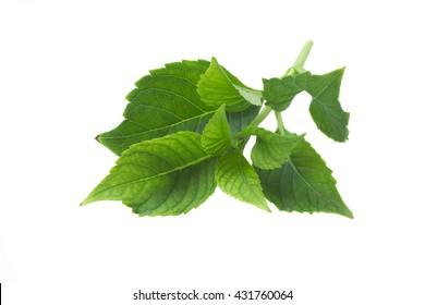 Hydrangea leaves isolated on white background