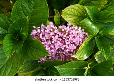 Hydrangea macrophylla ayesha pale pink flowers with green foliage