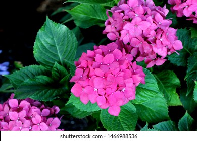 Hydrangea macrophylla, Big leaf Hydrangea, spreading deciduous shrub with broad ovate leaves and domed clusters of small, cupped, flowers in various colors. Suited for shaded locations.