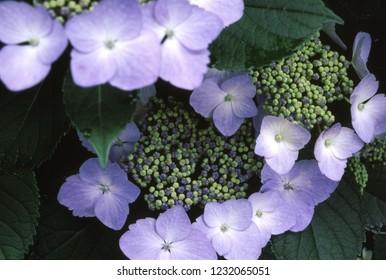 Hydrangea macrophylla (Blooming in rainy season)