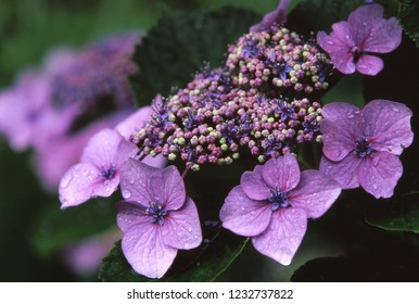 Hydrangea macrophylla (Blooming in rainy season)