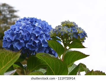 Hydrangea macrophylla is a blue beautiful flower, common names hydrangea, hortensia, blue island or Hortensia azul.