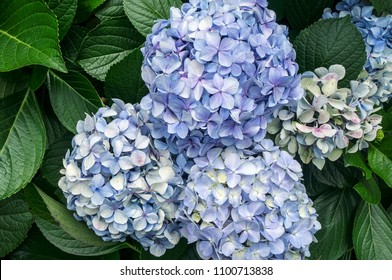 Hydrangea macrophylla blue color blossom delicate flower plant leaves