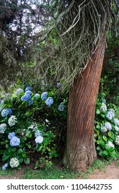 Hydrangea macrophylla blue color blossom delicate flower plant leaves brown trunk