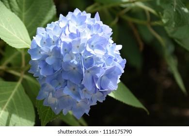 """Hydrangea macrophylla. It is called """"Ajisai"""" in Japan."""