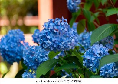 """Hydrangea - Hydrangea macrophylla. It is called """"Ajisai"""" in Japan."""