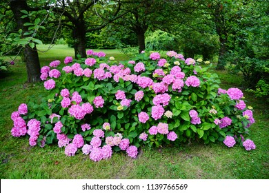 Hydrangea macrophylla - Hortensia flower - Beautiful bush of hydrangea flowers in a garden