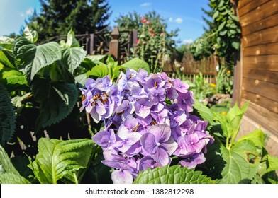 Hydrangea macrophylla - hortensia flowers in a small summer hosue garden in village in Masovia region of Poland