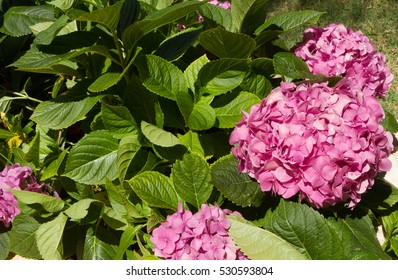"Hydrangea macrophylla, know as ""Hortencia"" flower detail"
