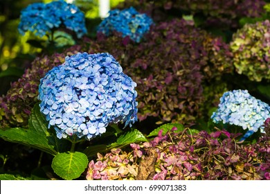 Hydrangea macrophylla is a species of flowering native to Japan. Common names include bigleaf hydrangea, French hydrangea, and hortensia.