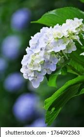 """Hydrangea of """"Mamenbara Plateau"""" in Otaki Town, Isumi District, Chiba Prefecture. June 26, 2020"""