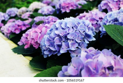 Hydrangea, many colors, many varieties. Show in the greenhouse. For tourists to visit.