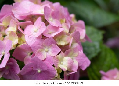 Hydrangea сcommon names hydrangea or hortensia close up shot. Beautiful flower with multi colored petals. Hortensia on the dark green background. Flowers after rain.