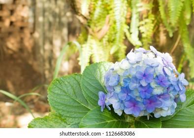 Hydrangea, a natural bouquet of blue flowers. Hortência in Port