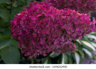 Hydrangea paniculata ( panicled hydrangea) Vanille Fraise.