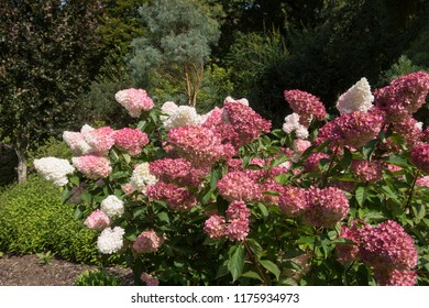 Hydrangea paniculata 'Vanille Fraise ' (Paniculate Hydrangea 'Rehny') in a Country Cottage Garden in Rural Devon, England, UK