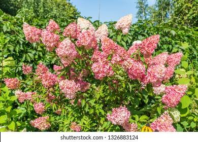 Hydrangea paniculata Vanille Fraise / Rehny