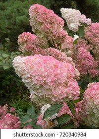Hydrangea paniculata Vanille Fraise 'Rehny' in a Garden at Rosemoor in Rural Devon, England, UK
