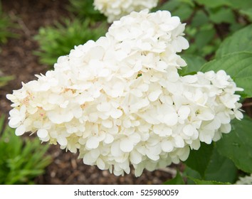 Hydrangea paniculata Vanille Fraise 'Renhy' in a Woodland Setting at Rosemoor in Rural Devon, England, UK
