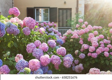 Hydrangea is pink, blue, lilac, violet, purple flowers are blooming in spring and summer at sunset in town garden near house and window with wooden shutters.