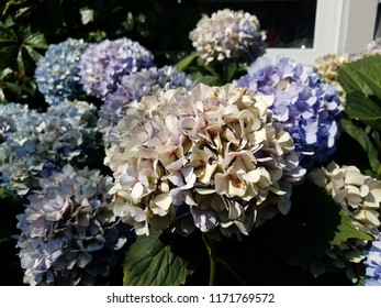 hydrangea plant with blue and white flowers