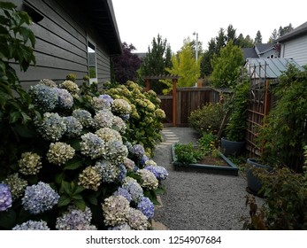 hydrangea plant with blue and white flowers and gravel path
