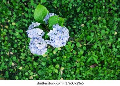 Hydrangea in rainy garden, korea
