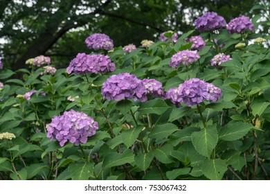 Hylotelephium spectabile formerly called sedum spectabile stock hydrangea season in japan purple flower altavistaventures Images