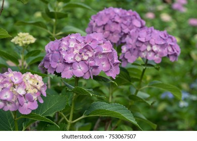 Hydrangea season in Japan. Purple flower