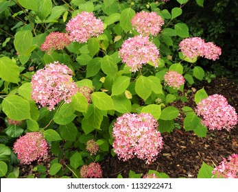 Hydrangea serratus bush with pink flowers and green leaves
