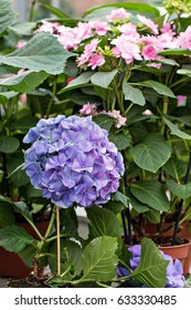 Hydrangea, soft focus, noise added. Beautiful flowers. Beauty in nature.  Hydrangea macrophylla - Beautiful bush of hydrangea flowers in a flowers market