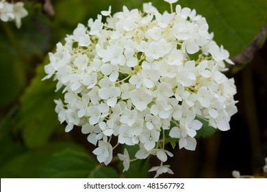 Hydrangea, species of flowering plant in the family Hydrangaceae