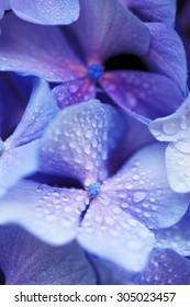 Hydrangea, water