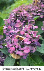 Hydrangeas in the fall. Also called Hortensias