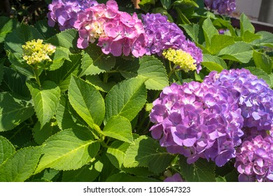 hydrangeas flower in japan