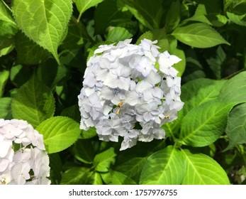 Hydrangeas flowers in the garden