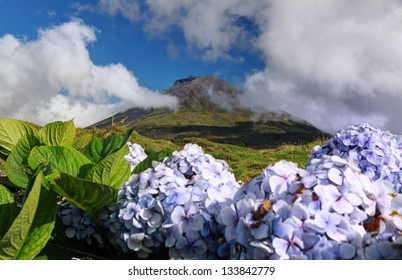 Hydrangeas in front of volcano Pico - Pico island, Azores Islands
