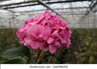 Hydrangeas in greenhouse from Dutch grower