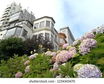 Hydrangeas in the morning at Lombard Street, San Francisco, California, USA