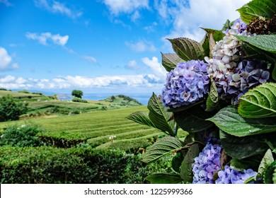 Hydrangeas and tea fields