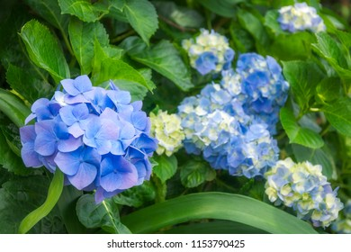 Hydrangeas are wonderful, hardy shrubs with large flower heads coming in different species and color varieties. Here purple and yellow flowers in garden beds at Sydney University, Australia.